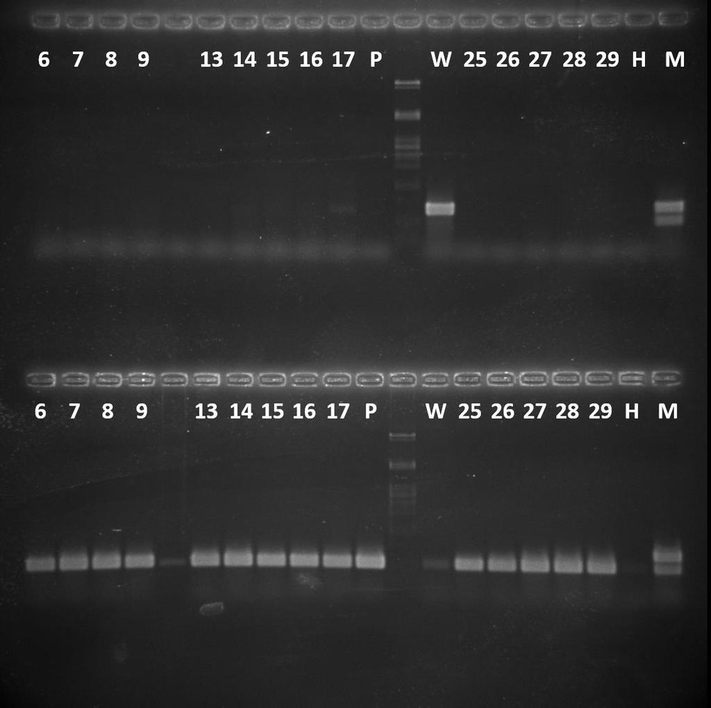 Fig. 36. Electrophoresis of the samples after PCR.