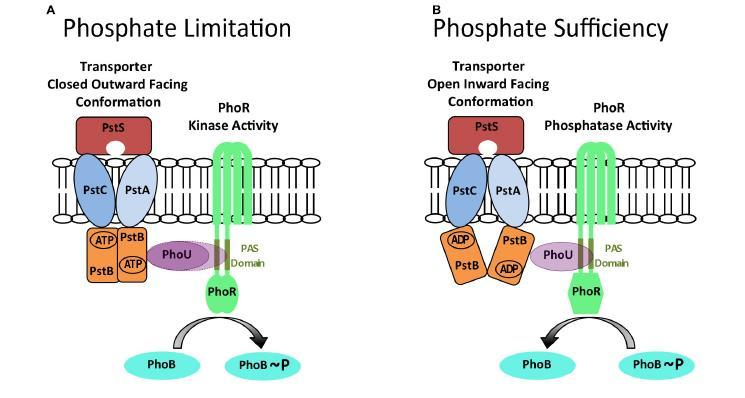 Fig. 6. A model for controlling, in E. coli, the balance between PhoR phosphatase and autokinase activities.