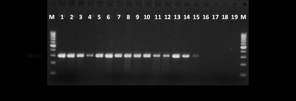 PCR - primers CffFOR2 and CffREV4.