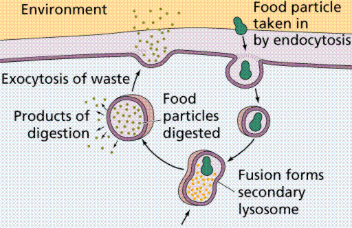 Image from Purves et al., Life: The Science of Biology, 4th Edition, by Sinauer Associates and WH Freeman A centrosfera é formada por uma zona de citoplasma mais claro e homogêneo.