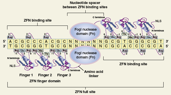 Zinc Finger Nucleases