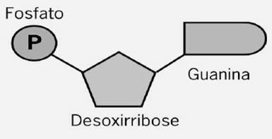 Nucleotídeos do DNA Grupo fosfato. Pentose: carboidrato de cinco carbonos.
