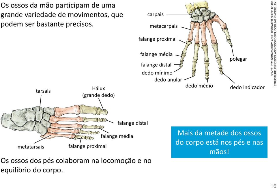polegar dedo indicador FONTE: THE HUMAN BODY; AN ILLUSTRATED GUIDE TO ITS STRUCTURE, FUNCTION, AND DISORDERS, DORLING KINDERSLEY.