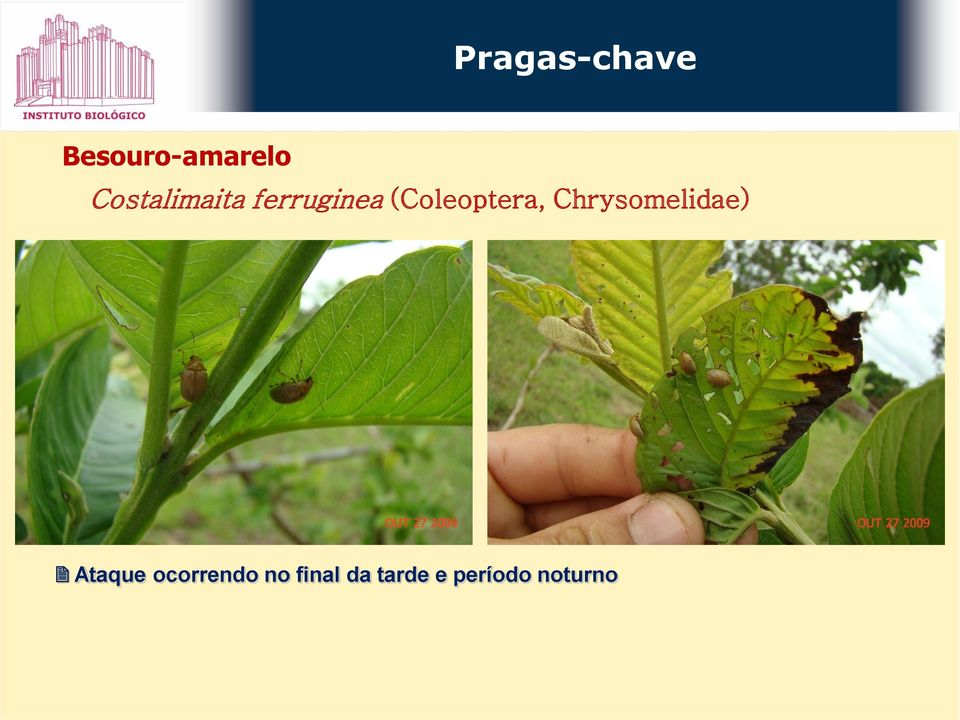Chrysomelidae) Ataque