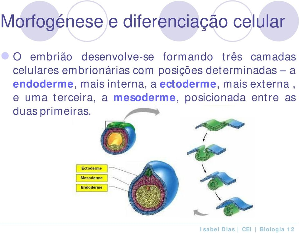 determinadas a endoderme, mais interna, a ectoderme, mais