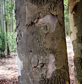 Spongy, fibrous or scaly, the bark differentiates the various species.. The Eucalyptus punctata and Eucalyptus macrorhyncha distinguish themselves from other species because of their bark.