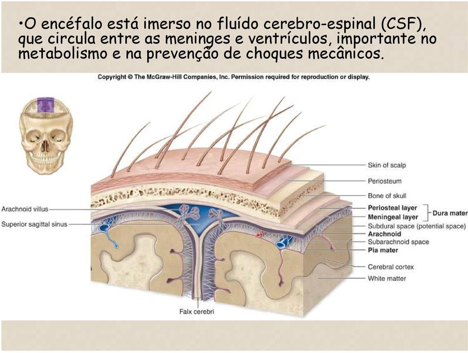 as meninges e ventrículos, importante no