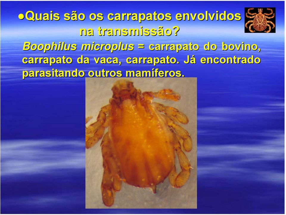 Boophilus microplus = carrapato do