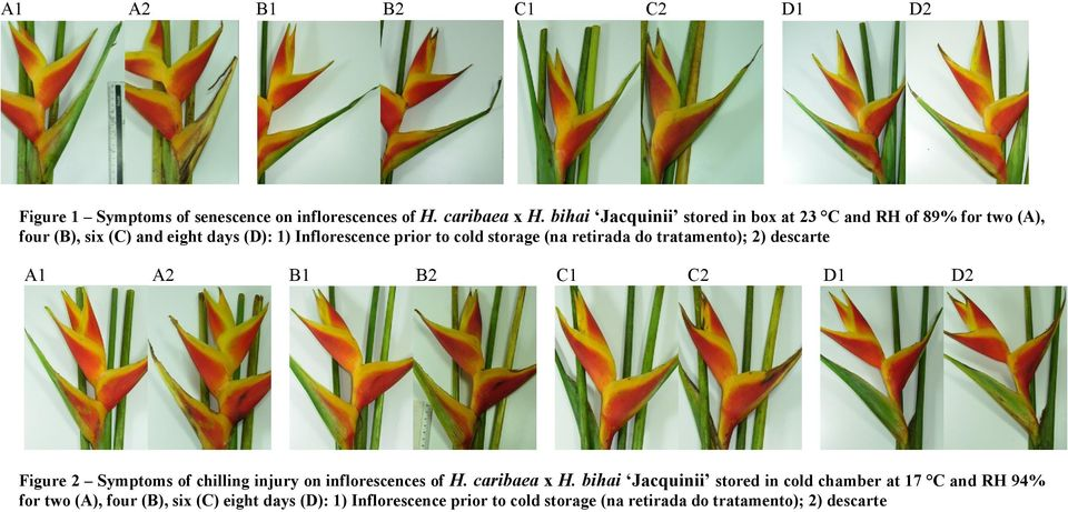 storage (na retirada do tratamento); 2) descarte A1 A2 B1 B2 C1 C2 D1 D2 Figure 2 Symptoms of chilling injury on inflorescences of H.