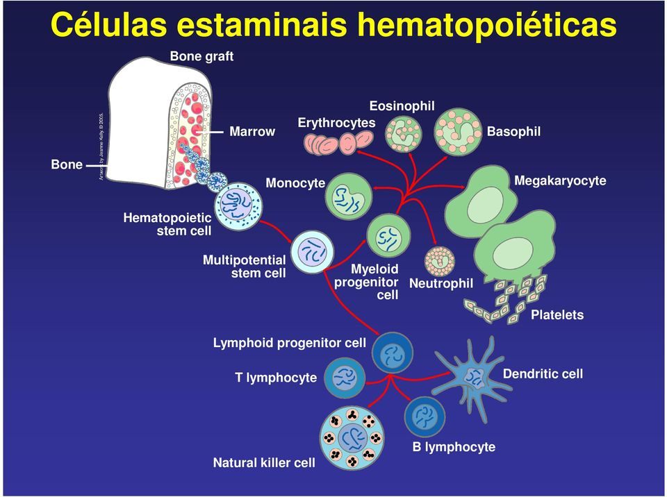 Multipotential stem cell Myeloid progenitor cell Neutrophil Platelets