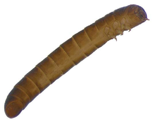 Ptilodactylidae, larvae, lateral view of the posterior region. 11.