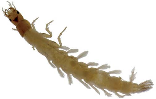 Ptilodactylidae, larvae, latero-ventral view of the legs. 3.