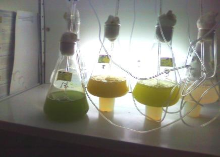 METODOLOGIA Nos ensaios experimentais foi utilizada a microalga Dunaliella salina mantida no meio cultivo Erdschreiber (descrito pela Utex- The Culture Collection of Algae) para obtenção do inóculo.