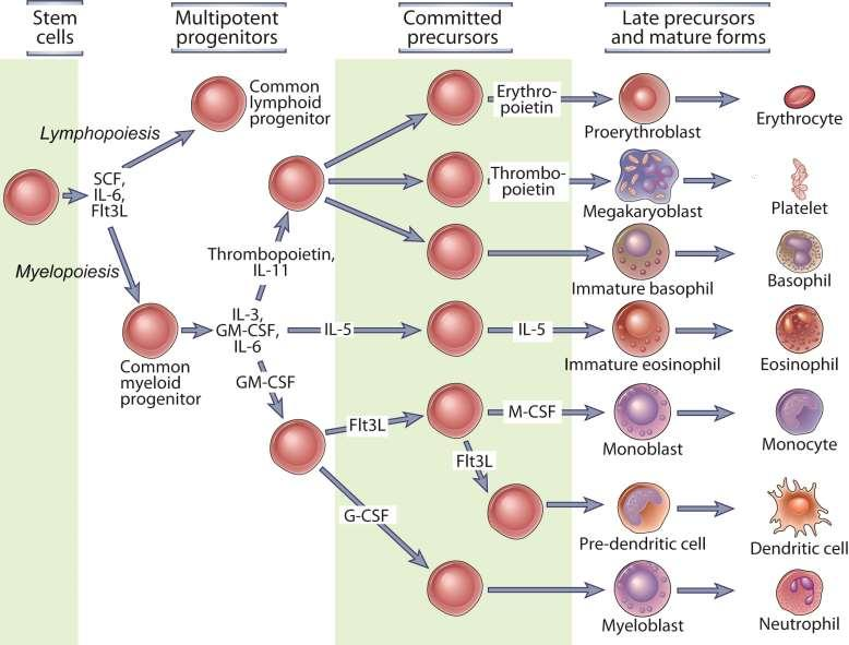 Hematopoiese Fig. 2-9 A Abbas, Lichtman, and Pillai. Cellular and Molecular Immunology, 7 th edition.