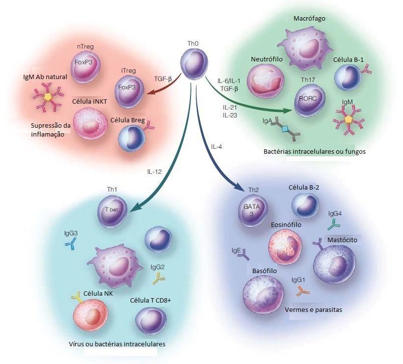 Lundy SK, PhD, Fox DA, MD, Gizinski A, MD. Introduction to clinical immunology: overview of the immune response, autoimmune conditions, and immunosuppressive therapeutics.