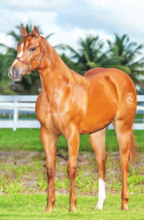 Lote 15 INGLATERRA HOLAND RD Fêmea Alazão 10/08/13 HOLLAND S BOY ELINDA ETERNALY RD HOLLAND EASE GOOD SOUND ETERNAL SHADY SLN FLOWER CHICA JR FIRST DOWN DASH EASY HENRYETTA SUPER SOUND CHARGE MISS