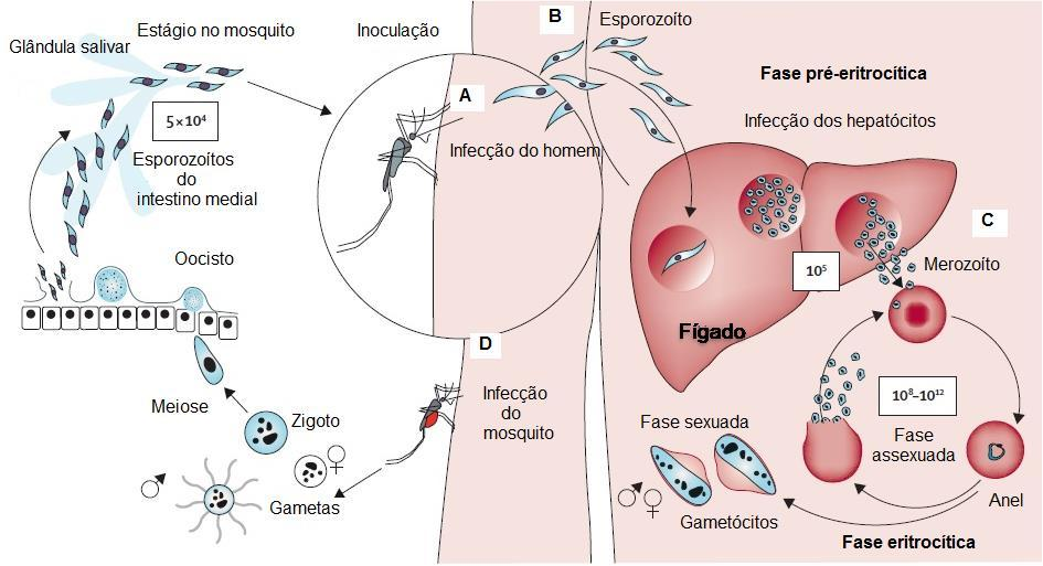 32 Figura 3: Ciclo evolutivo do Plasmodium sp.