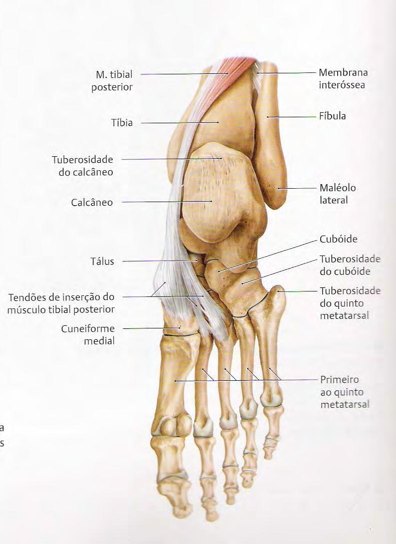 Tibial